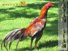 Aseel chicken breed information with pictures and interesting videos to watch about this breed. Before you try raising an Aseel chicken, read this! Beautiful Chickens, Beautiful Birds, Colorful Feathers, Colorful Birds, Turkey Breeds, Game Fowl, Chicken Pictures, Chicken Chick, Chickens And Roosters