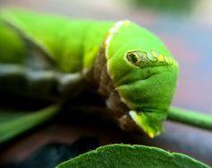 #caterpillar #mobile #photography #lumia930 #macro lens