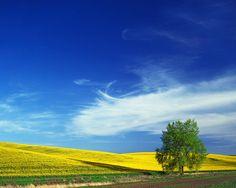 Cottonwood And Canola Field, Washington Mural - Charles Gurche| Murals Your Way