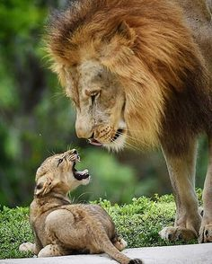 Cub:You Not The Boss Of Me King:Yes, I Am
