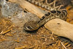 How to Avoid a Rattlesnake Attack in 11 Steps