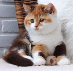 Cute Baby Cats, Cute Cats And Kittens, Cute Baby Animals, Kittens Cutest, Ragdoll Kittens, Funny Kittens, Bengal Cats, Tabby Cats, Pretty Cats