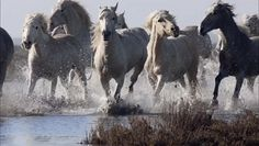 Horses running through the water GIF