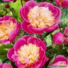 Peony Bowl of Beauty, Paeonia lactiflora, Peony - Perennials from ...