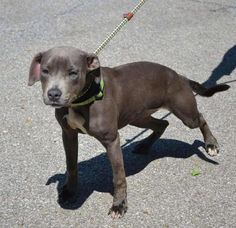 Gracie available from Adopt a Pit Rescue in Germantown Ohio