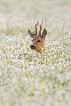 Roe deer in flower field | byAndy Luberti|
