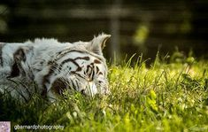 Reposting @gbarnardphotography: @gbarnardphotography -  Lazy Sunday Morning One of my fave shots from our visit to @westmidsafari the STUNNING White Tiger • • • • • #wildlife #tiger #wildlifephotography #tigers #tigertattoo #动物 #животное #hayvan #bigcat #tier #catsgram #動物 #onitsuka #bigcats #tigre #tigress #wild #bestanimal #wildlife_perfection #animals #lion #zoo #onitsukatiger #birds #safari #birdsofinstagram #wildlife_seekers #animal #africa #wildlifeplanet