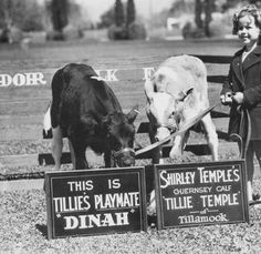 """Shirley Temple and two calves at Adohr Farms, Reseda, CA ... Right, Tillie Temple, a Guernsey calf sent by children of Tillamook, Oregon for her 9th birthday, 1935 ... Left, """"Tillie's playmate Dinah"""" ... San Fernando Valley History, California"""