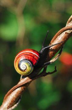 Painted Snail or Cuban Land Snail (Polymita picta)