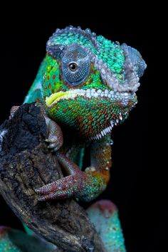 musts:  Chameleon_9946s by Angi Wallace