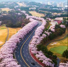 cherry blossom,Korea