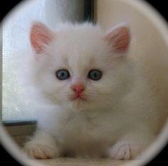 Serenity - Non standard napoleon kitten - blue eyed white - long hair
