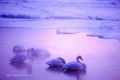厳冬の夜明けの湖で目覚め始める白鳥たち : 写真浪漫 Japan