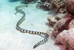 Belcher's Sea Snake (Hydrophis Belcheri) is the most venomous snake in the world. It is a species of elapid sea snake and is also known as the faint-banded sea snake. it is said that a few milligrams of its venom is strong enough to kill a thousand humans. However it is very docile and rarely bites and even if it DOES bite there is only 25% chance that it's bite has venom in it.