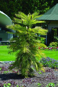 Wollemia nobilis (Wollemi PIne) #trees #butchart #butchartgardens