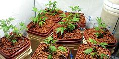 Hydroponic Marijuana Growing Indoors
