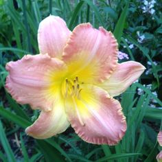 Melody Day Lily