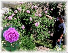 """""""Grandmother's Hat"""" Rose, THE best HP in Los Angeles. It even reblooms if you don't dead head it and in the winter. It has long cutting stems with few thorns, quite unlike most HPs ."""