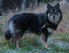 finnish Lapphund photo   Thread: OMG! A Finnish Lapphund??