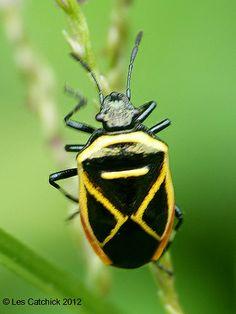 ˚Beetle (awaiting ID - possibly a shieldbug)