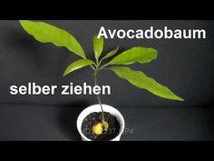 avocado pflanzen avocadobaum selber ziehen avocadobaum. Black Bedroom Furniture Sets. Home Design Ideas