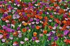 tulipani a parco Sigurtà