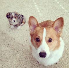 More adorable corgi siblings. You can't go wrong. #adorablecorgi