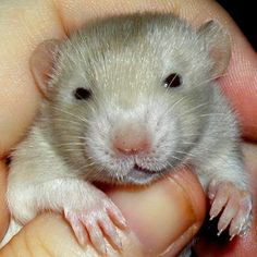 Brynn's Litter   Mainely Rat Rescue - adorable