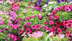 Penúnias, flor muito cobiçada pela beleza das cores bem definidas.  Fotografia: Thinkstock.