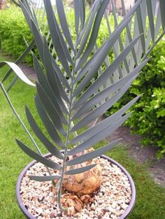 Encephalartos_dolomiticus Planting Seeds, Planting Succulents, Plant Magic, Hardy Plants, Carnivorous Plants, Nature Tree, Green Plants, Ferns, Evergreen