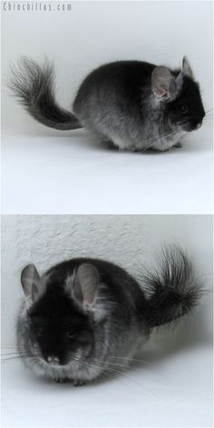 Black Velvet Royal Persian Angora Male. 5,355.00 $. oh wow!! i need a chinchilla!