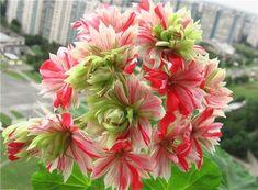 Geranium Plant, Scented Geranium, Geranium Flower, All Flowers, Beautiful Flowers, Garden Plants, House Plants, Australian Flowers, Green Art