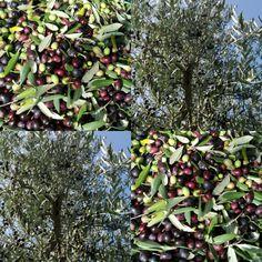 Tra le fronde argentate degli ulivi, preziosi tesori, frutti che spremuti a freddo danno un olio extravergine dalle qualità nutrizionali e organolettiche eccellenti....