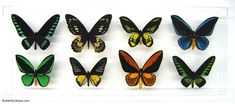8 Birdwing Display butterfly framed art, pictures, display,