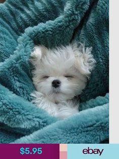 ⓕurry & ⓕeathery ⓕriends - photos of birds, pets & wild animals - Maltese puppy Cute Baby Animals, Animals And Pets, Funny Animals, Wild Animals, Cute Puppies, Cute Dogs, Dogs And Puppies, Doggies, Maltese Dogs
