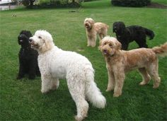 Goldendoodles, but they defeat the purpose of crossing a poodle with a lab...they have LONG HAIR. Labordoodles get the short, non-shedding hair. But Goldendoodles are beautiful!