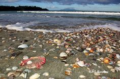 MATAKANA AREA BEACH - Seashells on Omaha Beach - Omaha Beach, Northland. New Zealand