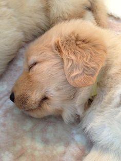 golden retriever puppy love fuzzy cute adorable dog