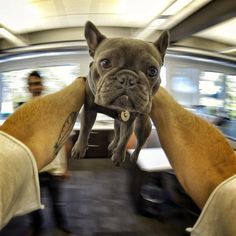 Love this gal!  The famous GoPro Frenchie, Chicken, at GoPro HQ enjoying a tether-dog round with daddy Travis Pynn.