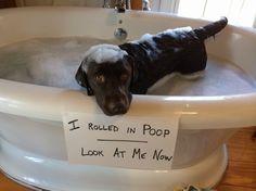 Rolled in poop