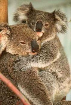 """""""Cuddling Koalas.""""                                                                                                                                                                                 More"""