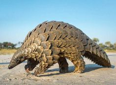 Top Most Attractive And Fabulous Pangolin Wallpapers In HD