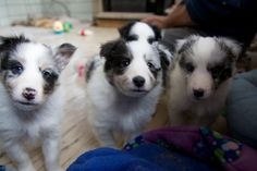 https://flic.kr/p/8X9vUD | Our New Puppy & Her Littermates | Last Saturday we drove near Edmonton (nearer Gwynne, Alberta) to see our new puppy at 6 weeks old.   Evonne & Merle of WillowGlyn Shelties were fantastic and let us spend 75 minutes with her and her 4 littermates.  What a blast. I can't wait for the next 3 weeks to pass before we get her.