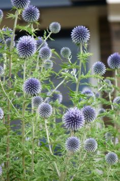 Check Out Our New Planning Guide – Longfield Gardens - New ideas Diy Garden Projects, Plant Design, Blue Flowers Garden, Unusual Plants, Ornamental Grasses, Tall Plants, Garden Design, Shade Plants, Longfield Gardens