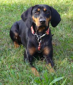 Austrian Black and Tan Hound. Get a Free Consultation for your #dog from our Friends at Nature's Select #Petfood http://naturalpetfooddelivery.com/nsd/usa/free-consultation/