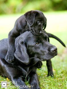 The black lab...