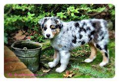 #puppy #australianshepherd #blog #thedecadentmess #nashville #alabama