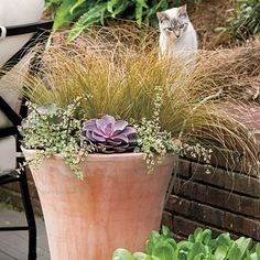 Grasses and succulents have great textural contrast. 'Amazon Mist' sedge grass combines wonderfully with creeping sedum and purple echeveria