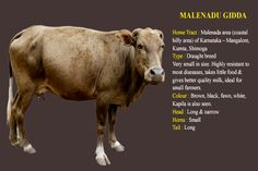 Desi Indian cow breed Malenadu Gidda or Giddha Dairy Cow Breeds, Breeds Of Cows, Cow Photos, Cow Pictures, Cow Facts, Farm Life, Farm House, Insta Bio, Gado