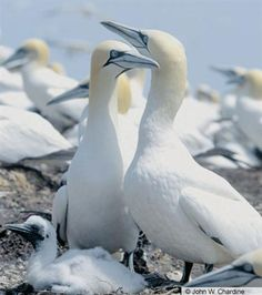 Awwww.... Northern Gannets. Adults with nestling